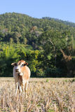A cow eating grass with mountain background. Royalty Free Stock Photo
