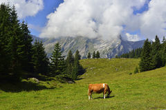 Cow eating grass with mountains and sky in background Royalty Free Stock Photography