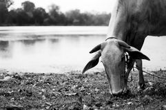Cow Eating Grass near the Lake in Cambodia. Water, pond, Asia Royalty Free Stock Images