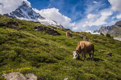 Cow eating grass near Matterhorn mountain in clouds. In european alps in Switzerland Stock Images