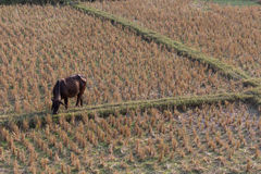 Cow eating grass in rice field of farm agriculture Royalty Free Stock Image