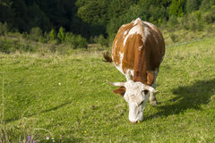 Cow eating grass. A spotted cow having lunch in the mountains Stock Images