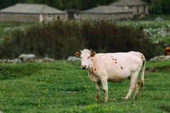 Cow Eating Grass In Spring Pasture. Cow Grazing On A Green Mountain Stock Image