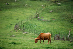 Cow Eating Grass In Spring Pasture. Cow Grazing On A Green Mountain Royalty Free Stock Photography