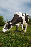 Cow eating grass on a summer pasture Royalty Free Stock Photos