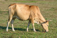 Cow eating grass before sunset Stock Photography
