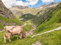 Cow eating grass in Swiss Alps Stock Image