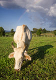 Cow eating grass Stock Photos