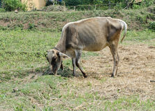 A cow is eating grass. In Thailand farm Royalty Free Stock Image