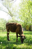 Cow eating grass in the village Stock Image
