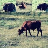 Cow eating a green grass, green grass on foreground and background, vintage color light effect added,selective focus.  stock photography