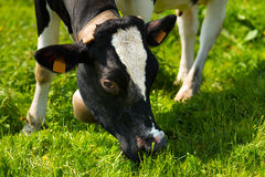 Cow Eating Green Grass on a Meadow Stock Photos