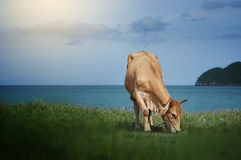 Cow eating a green grass near the sea, blurred sea with bluesky and island background,grass on foreground, light effect added Royalty Free Stock Image