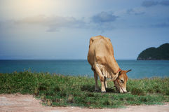 Cow eating a green grass near the sea, blurred sea with bluesky and island background, light effect added,selective focus Stock Photo