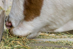 Cow eating hay Stock Photos