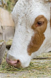 Cow eating hay Stock Photo