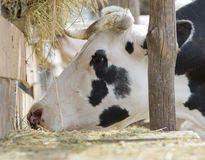 Cow eating hay Stock Photography