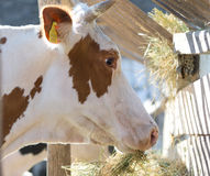 Cow eating hay Royalty Free Stock Image