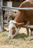 Cow eating hay Royalty Free Stock Photography