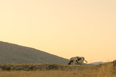 Cow eating hay and grass at the country against the golden sky. Royalty Free Stock Images