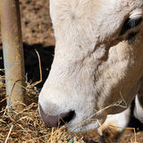 A cow eating hay leaning through the rails Royalty Free Stock Photo