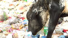 Cow eating leftovers waste in polythene plastic bag in garbage dump road side Delhi May 3 2018