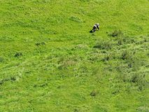 Cow eating meadow. Cow eating in the meadow Stock Photo