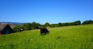 Cow Eating In Pasture. Beautiful Black Cow on green pasture, countryside, summer stock video footage