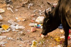 Cow eating plastic and garbage in india. The Swachh Bharat campaign has done little to promote cleanliness in most cities and the various stray animals end up Stock Images