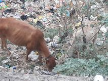 Cows is eating plastic and non eatble things royalty free stock photography