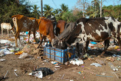 Cow eating trash in Goa, India Royalty Free Stock Photo