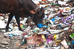 Cow eating trash from illegal landfill Royalty Free Stock Photo