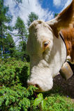 Cow eats Stock Photography