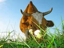Cow eats grass. Close-up. Meadow royalty free stock photos