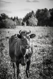 Cow eats a grass Stock Photos
