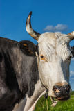 Cow eats grass Royalty Free Stock Image