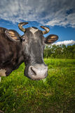 Cow eats grass Royalty Free Stock Photography