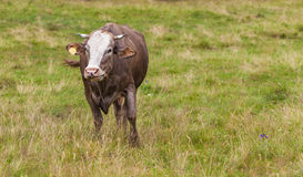 Cow eats grass Royalty Free Stock Photo