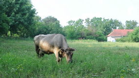 Cow eats grass stock footage