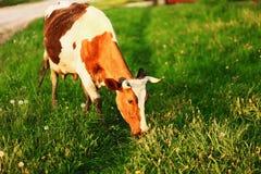 The cow eats grass. Stock Photos