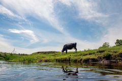 Cow eats grass of the river Royalty Free Stock Images