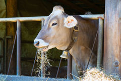 Cow eats hay Stock Images