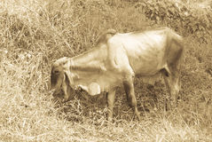 A cow eats with pleasure growing in the pasture grass Royalty Free Stock Photo