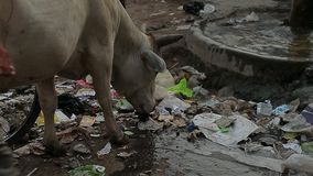 The cow eats rubbish at street. Garbage Dirt Poverty India.