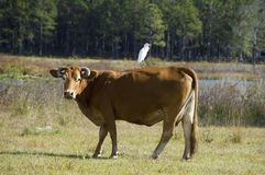 Cow with egret. A female cow with horns in a field with a cattle egret on her back stock image