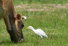 Cow with Egret Stock Photos