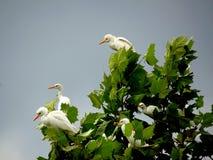 Cow Egrets Stock Photo