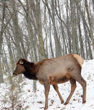 Cow elk Royalty Free Stock Photo