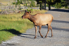 Cow Elk Stock Photos