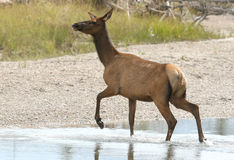 Cow Elk. An elk crossing a stream Stock Photo